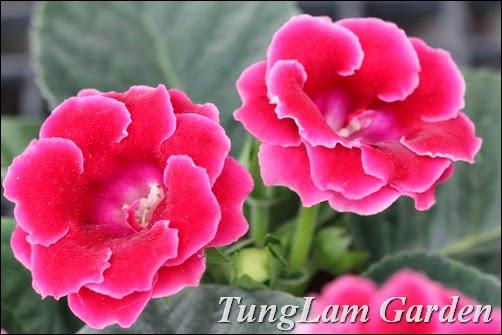 Tử la lan, hoa tử la lan, cách trồng hoa tử la lan, bán hoa tử la lan, nhân giống hoa tử la lan, tử linh lan, hoa tử linh lan, bán hoa tử linh lan, hoa nội thất, cây nội thất