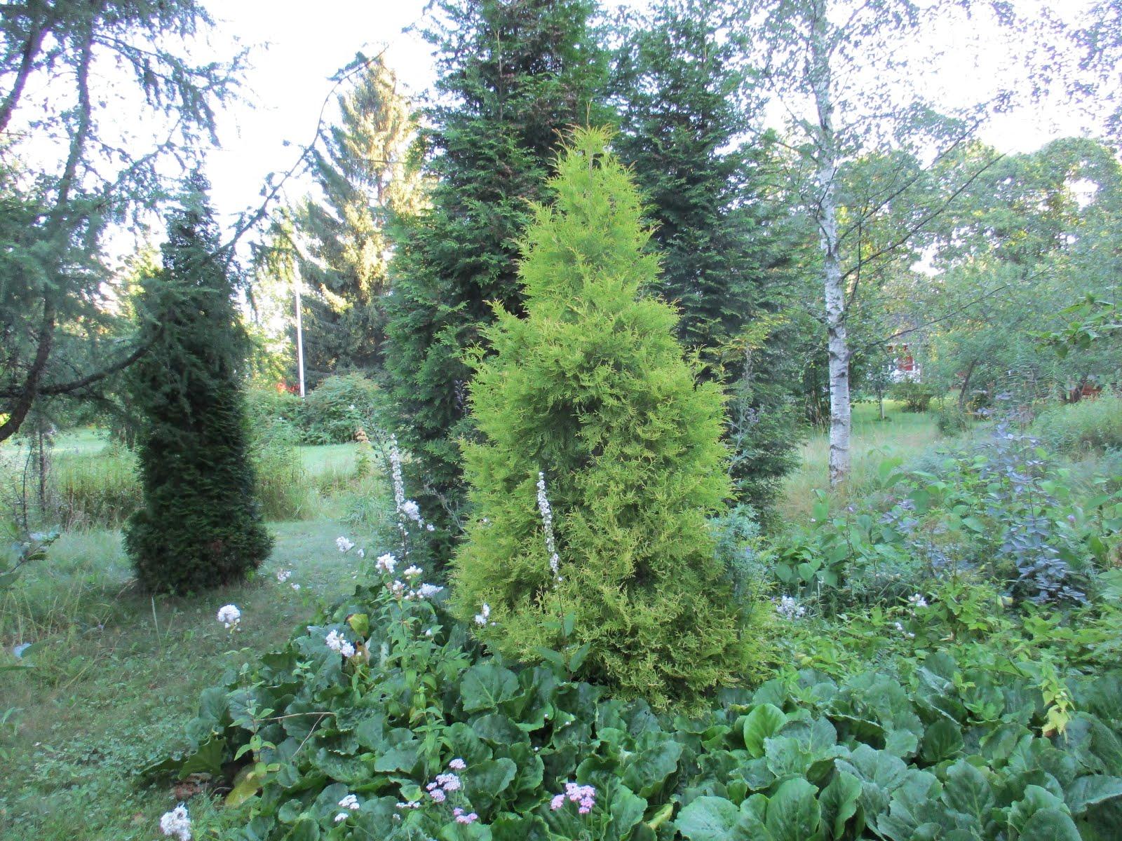 Virosta 2002 tuotu kultatuija on viimein puu