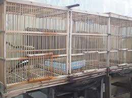 Burung Kacer | Kicau Mania Pantura Indonesia