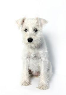 Miniature Schnauzer Puppy Pictures