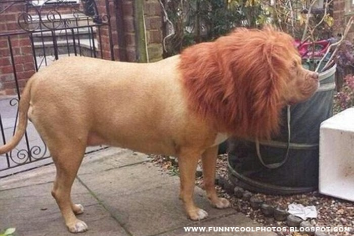 Is this Lion or Dog?