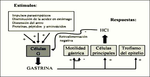 Hormona Gastrina: Secreción y función de la gastrina