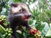 Beternak musang untuk kopi luwak
