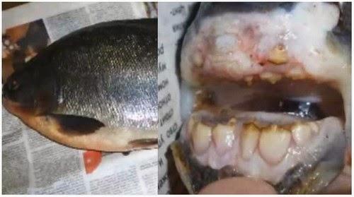 Pelik Nelayan Russia Tertangkap Ikan Bergigi Manusia