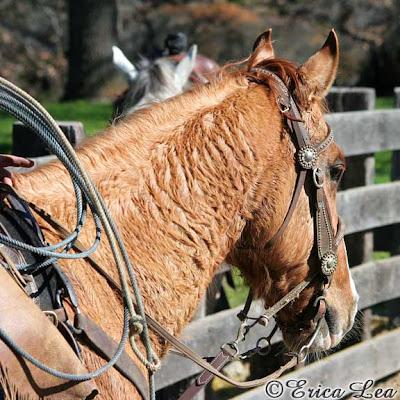 horse, cow pony
