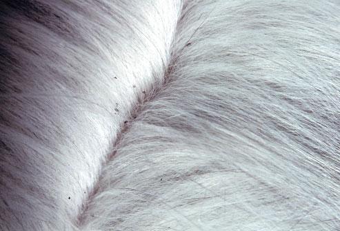 Cat fleas vs dog fleas - photo#14