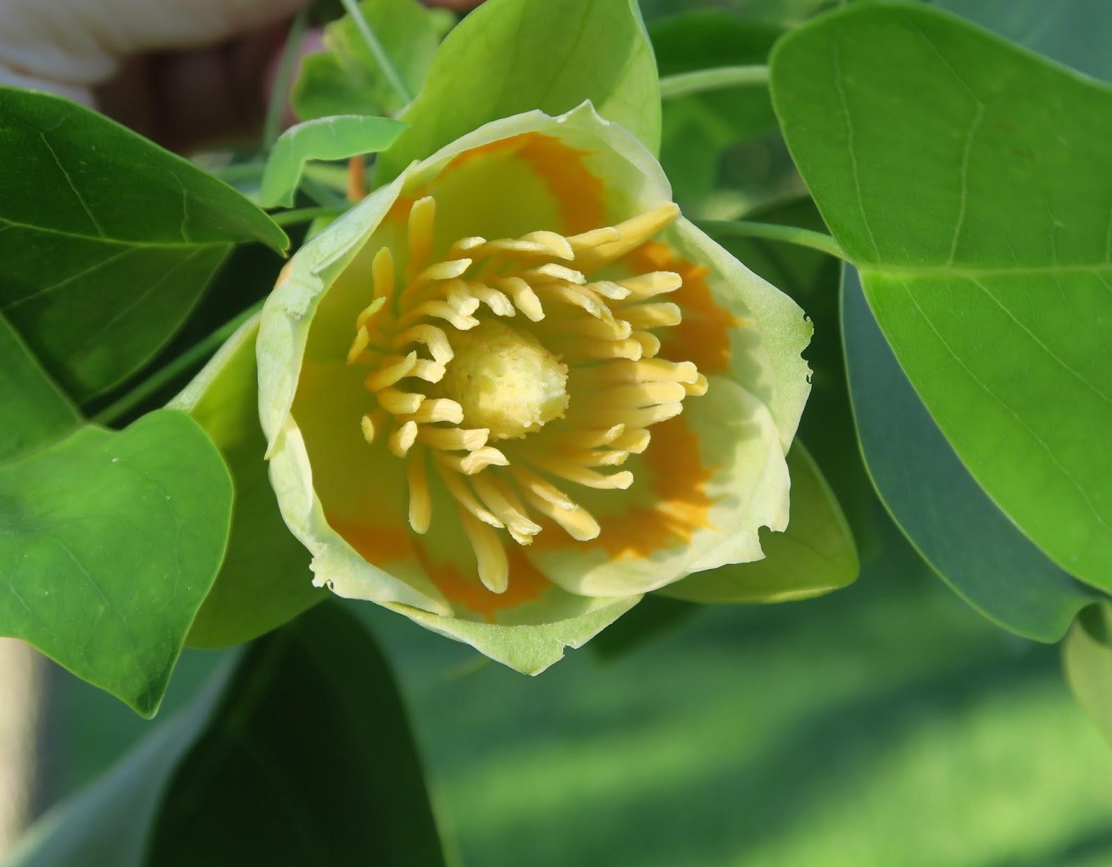 Albero dei tulipani foto 33