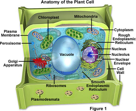 3d plant cell diagram circuit diagram symbols living environment cell organelles rh bronxguildlivingenvironment blogspot com 3d plant and animal cell diagrams plant cell ccuart Choice Image