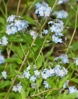 Smaller Forget-Me-Not (Myosotis cf laxa)