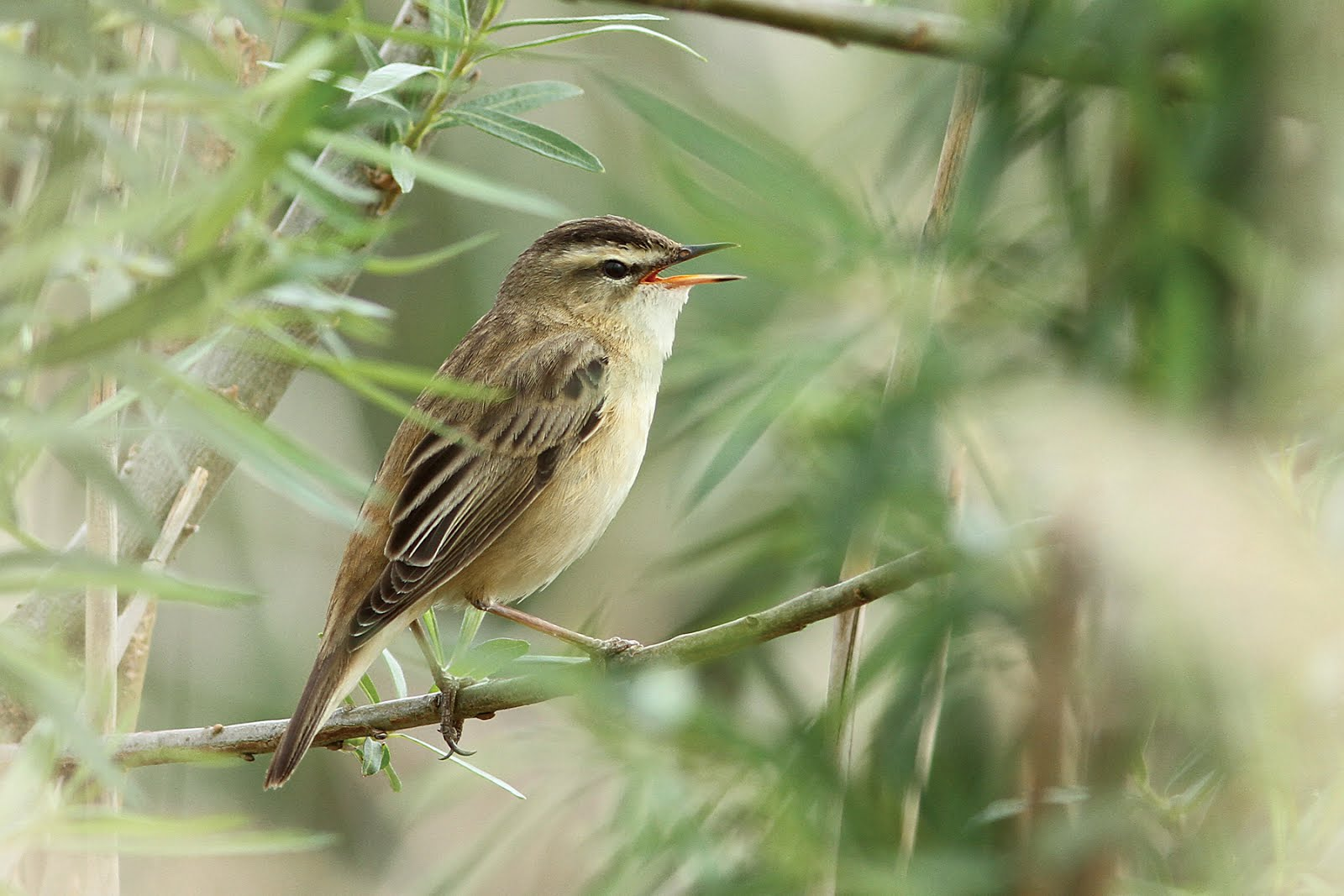 SEDGE WARBLER