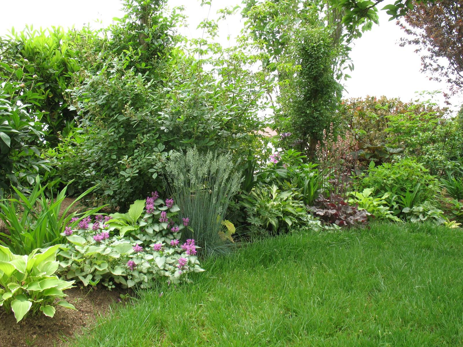 Roses du jardin ch neland hosta undulata vari gata - Jardin de chen ...