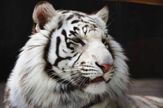 Beautiful Rare White Tigers