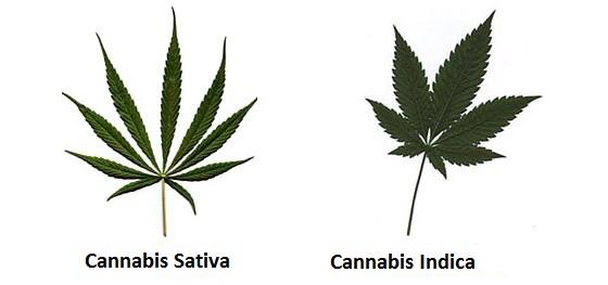 diferencia entre cannabis sativa y indica