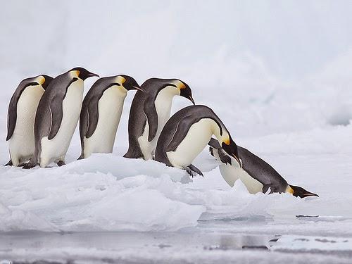 صورة لطيور البطريق ! Penguins-2