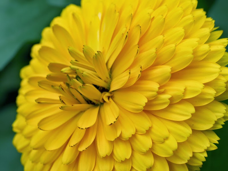 Calendula Flower Macro