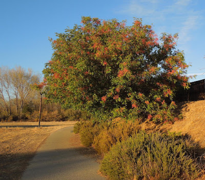 Pepper Tree at Larry Moore Park, ©B. Radisavljevic