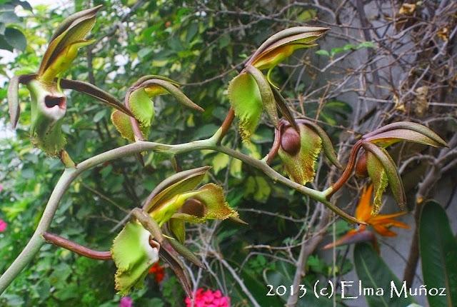 Catasetum incurvum. 2013 (c) Elma Muñoz