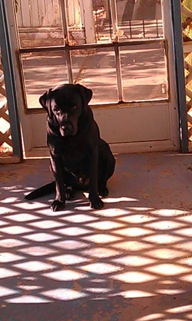 Guide dog Leif sits patiently on a porch as the late afternoon sun marks checker board patterns over the dog and floor on a hot day.