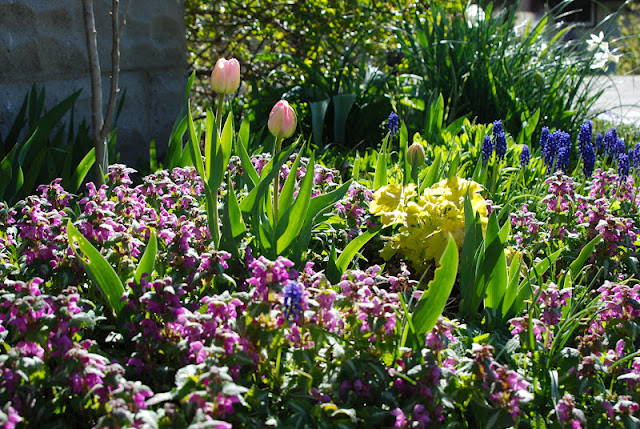Tulip Angelique, Lamium, Muscari armenicum and Heuchera 'Citronelle' in the Driveway Garden... iris foliage coming up through these ground covers and the rose bush in the back anchor this planting with some needed green.