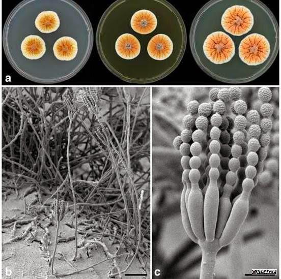 Penicillium vanoranjei (fungus)