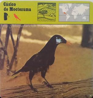 Blog Safari Club, el Cásico de Moctezuma, un maravilloso cantor y constructor
