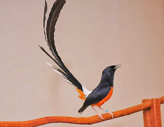 Foto Burung Murai Batu Sumatera Harga Burung Kicau Terbaru Minggu Ini