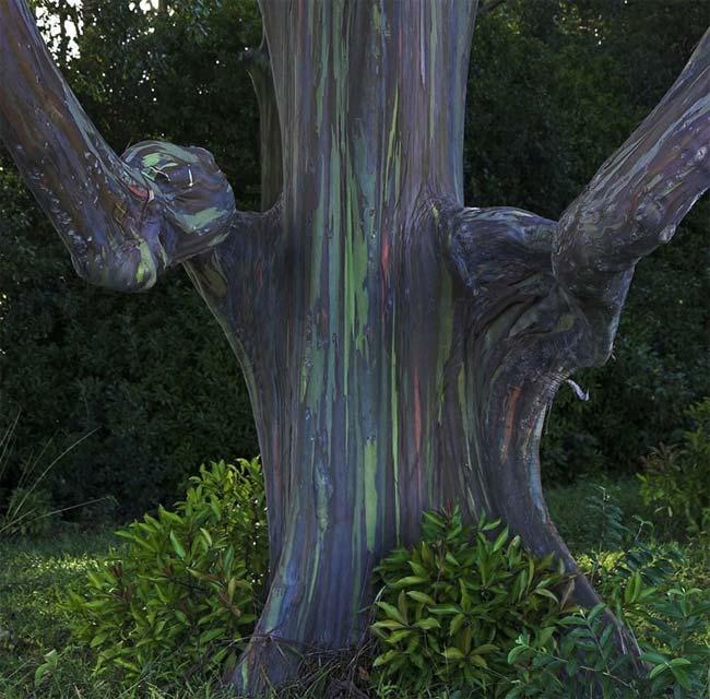 Árboles de eucalipto, arco iris, Kailua, Hawaii