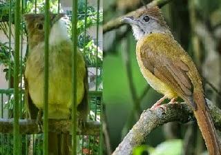 Foto Burung Cucak Jenggot Jantan
