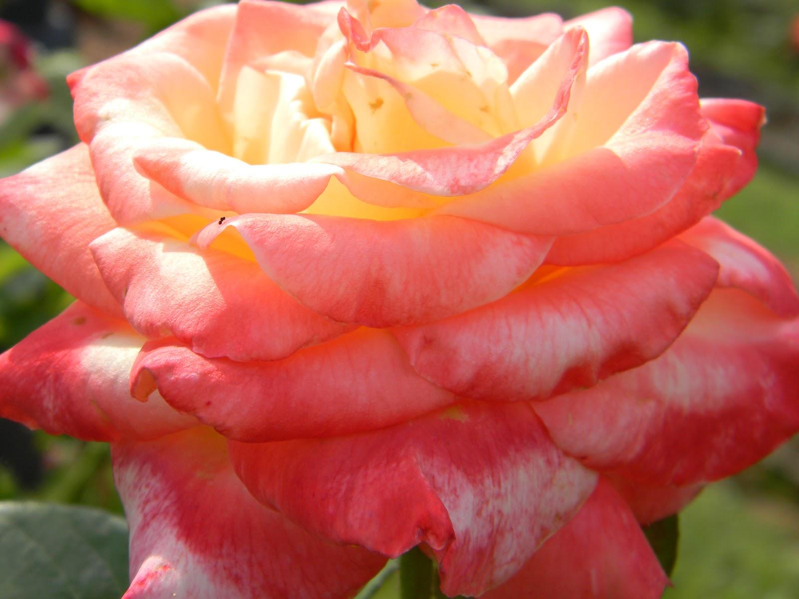 Rvfulltiminglove Rose Garden Tyler Texas