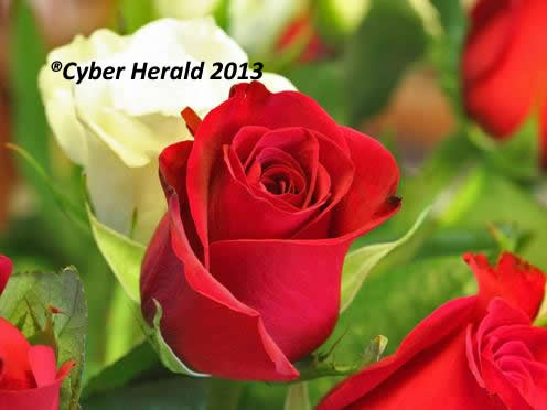 Cyber Herald Rose Symbolism Of Its Colors And Numbers