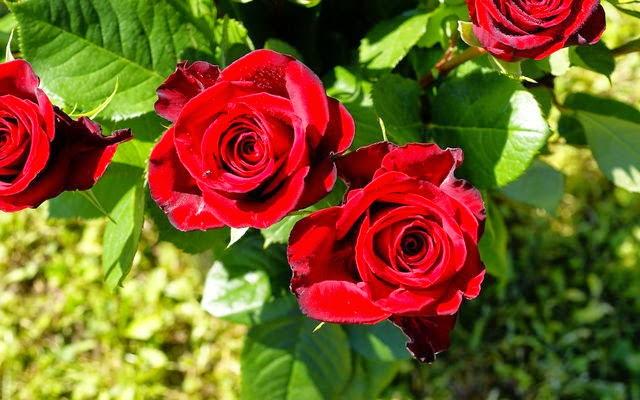 hình nền hoa hồng tặng bạn gái