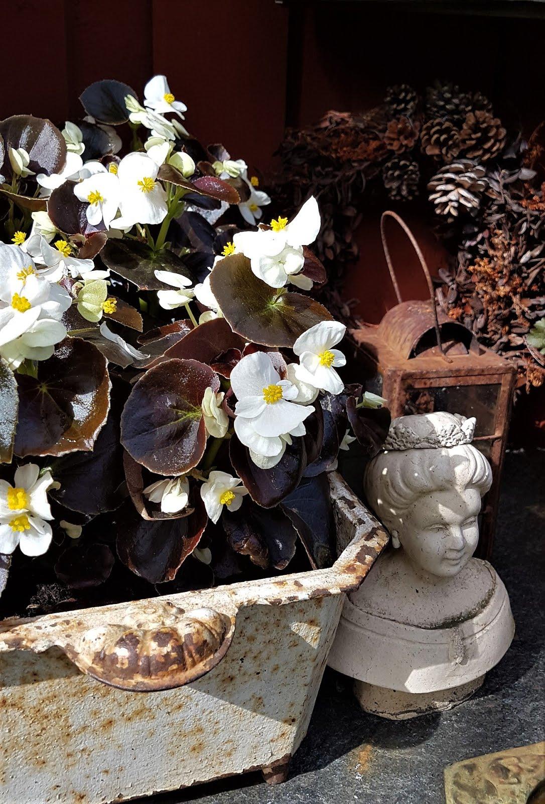 Isbegonia med mörka blad och vita blommor