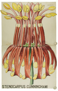 Balfour botanical drawings