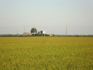 Rice Field Photo - Sant Carles de La Rápita - Tarragona - Spain