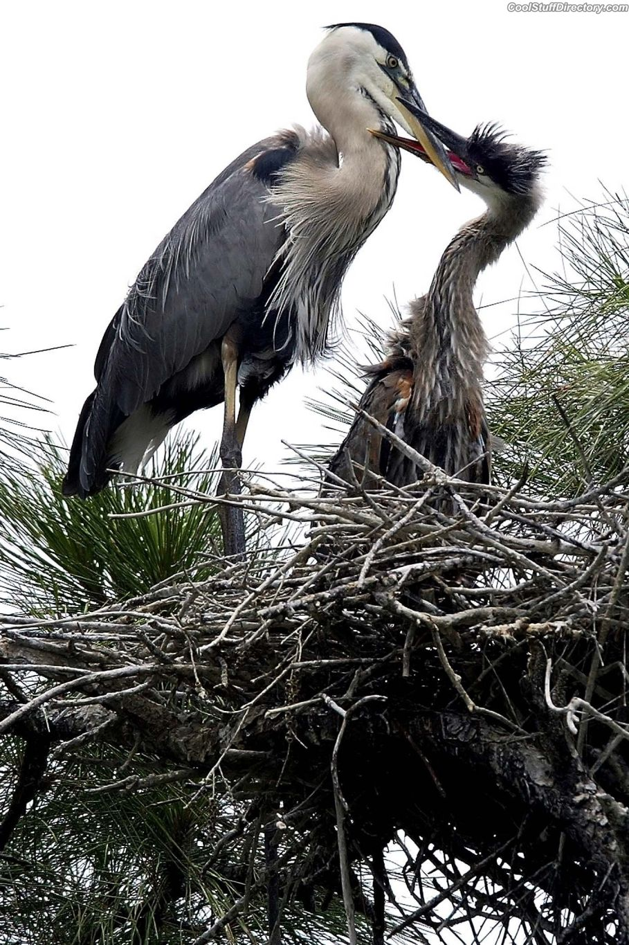 "Great blue heron feeds ignoramus in ""Pendarvis Cove Park"", Palm City, USA"