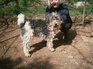 DICK - fox terrier 10 ans  (3 ans de refuge)  - Refuge SAM à Flassans sur Issole (83) DICK0