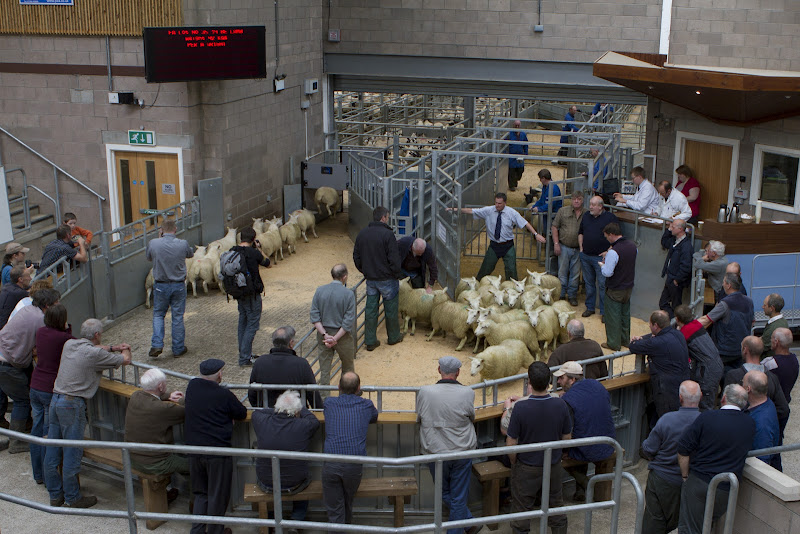 Stirling Sheep Auction, Scotland title=