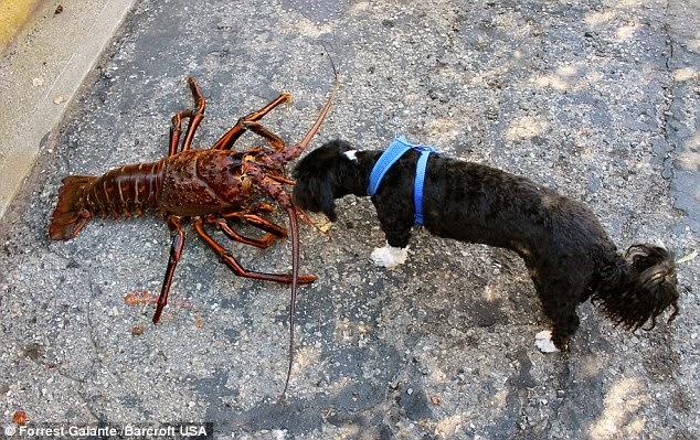 صورة توضح حجم الكركند بالنسبة لكلب