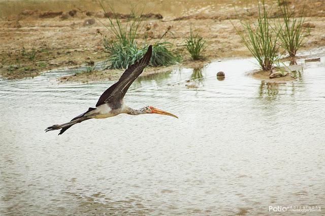 Burung Yellow Billed Stork Paya indah Wetlands