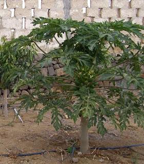 Orto per tutti piante da frutto esotiche for Piante da frutto nane