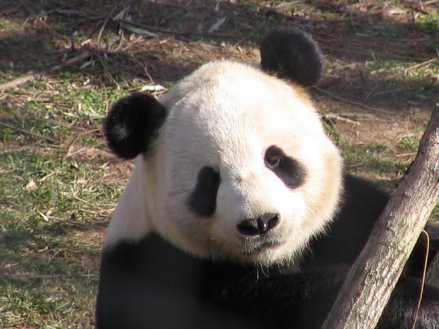 Osos pandas, animales