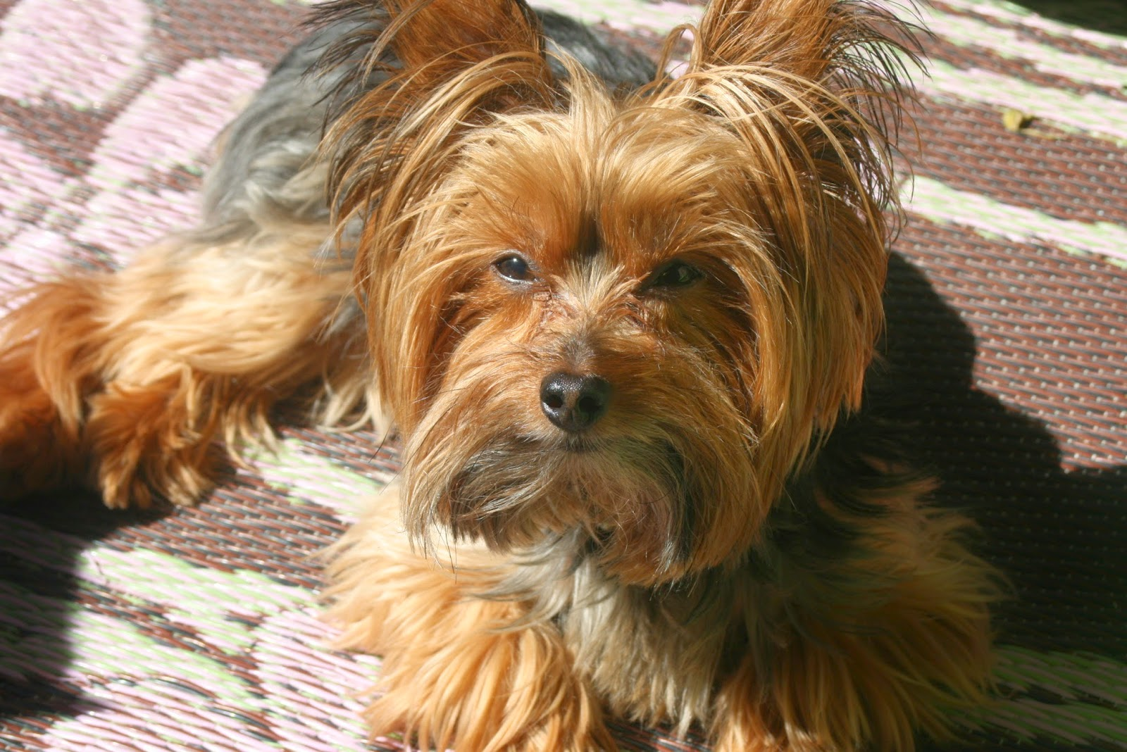 Image of: Registration Yorkie As Service Dog Therapy Dog Miniature Yorkshire Terrier Miniature Yorkshire Terrier Yorkie As Service Dog Therapy Dog