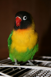 Jenis-jenis love bird