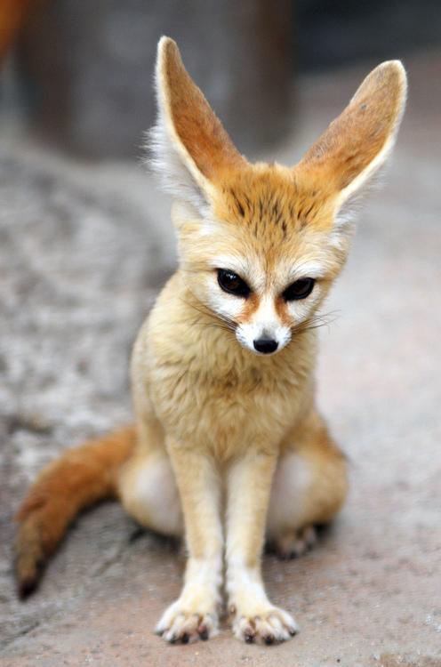 mes bestioles préférés :) Fennec+Foxe+cute
