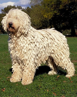 Komondor Dog Breed Photos | Dog Pictures Online Komondor Dog Pictures