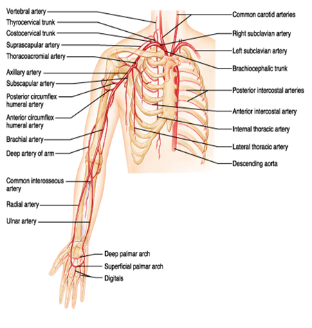 Upper extremity arterial anatomy
