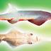 Ikan Pari Sentani, si Cucut Gergaji Air Tawar Yang Langka