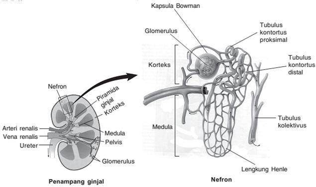 Ginjal Struktur Dan Fungsi Materi Dan Soal Ipa Untuk Sma