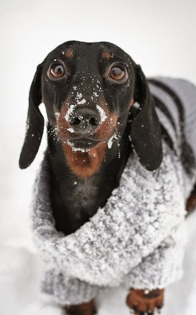 snowy face doxie