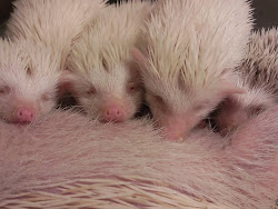 Hegehog bú sữa mẹ